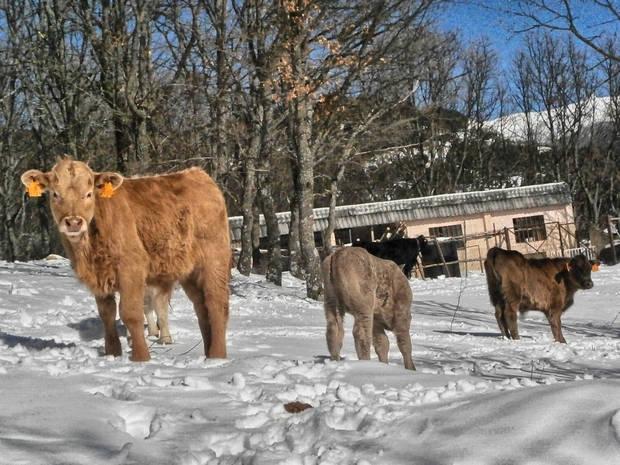 Vacas Cercedilla